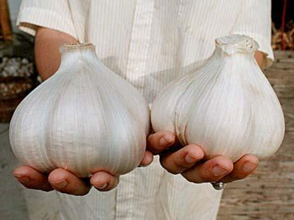Технология выращивания Кипрского Рокамболя часть 2