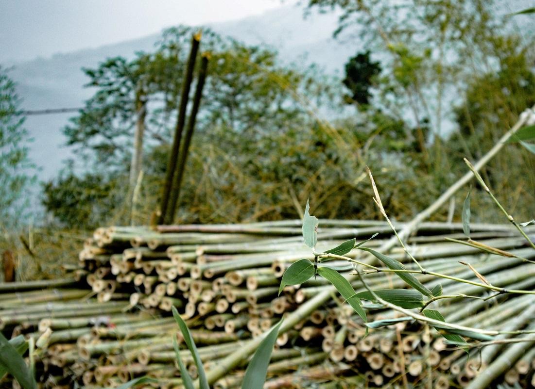 Морозостойкий бамбук (-28) купить саженцы в Украине по 50 грн за саженец.