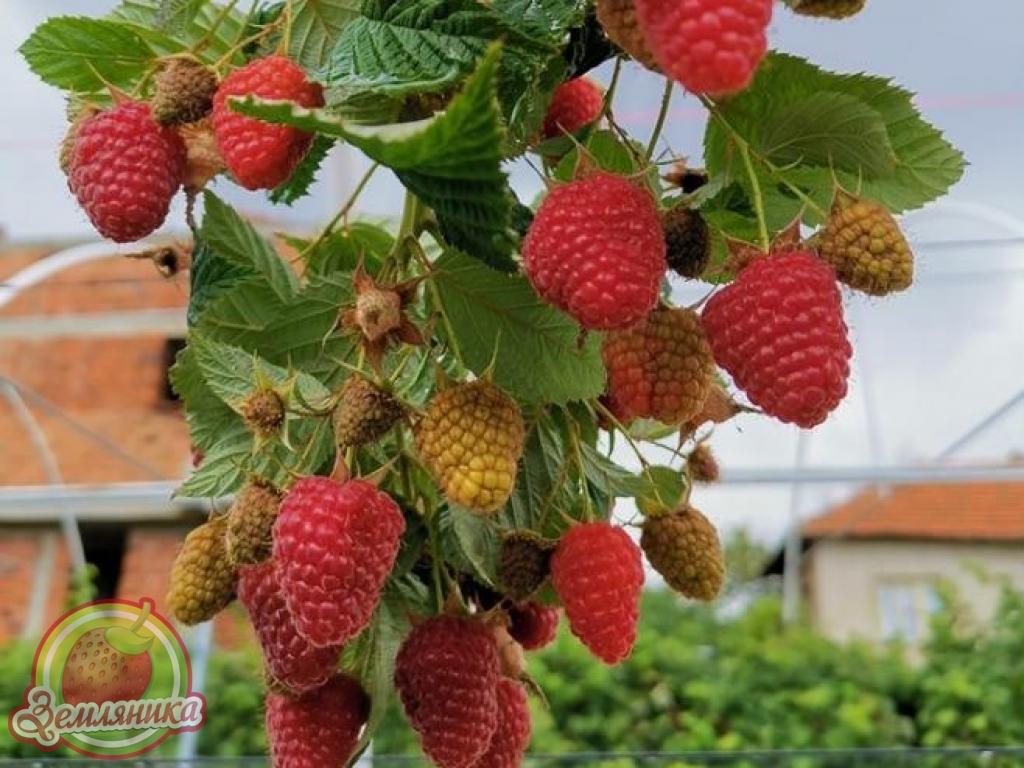 Саженцы малины Вайолет \Vajolet купить по 30 грн.