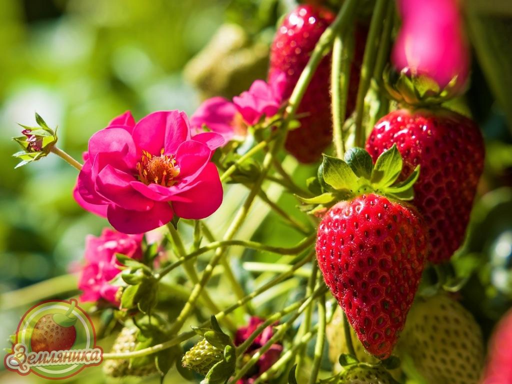 Есть в наличии. Купить саженцы клубники Summer Breeze F1 с махровыми цветками по 20 грн.