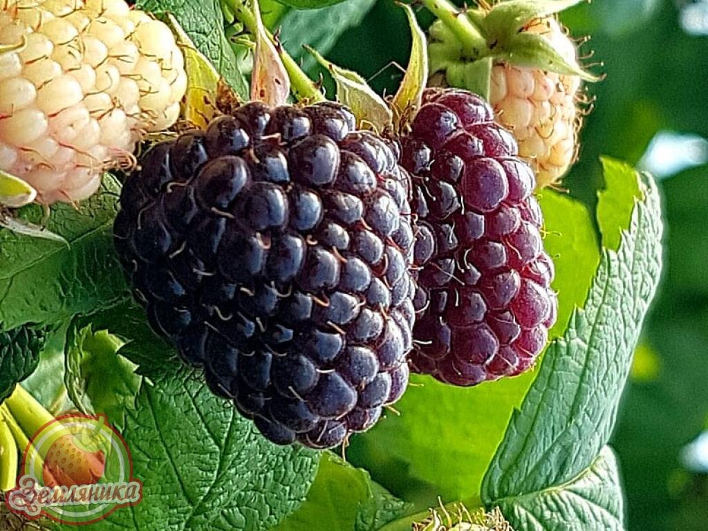 Купить саженцы малины Heban \ Черное дерево по 30 грн.