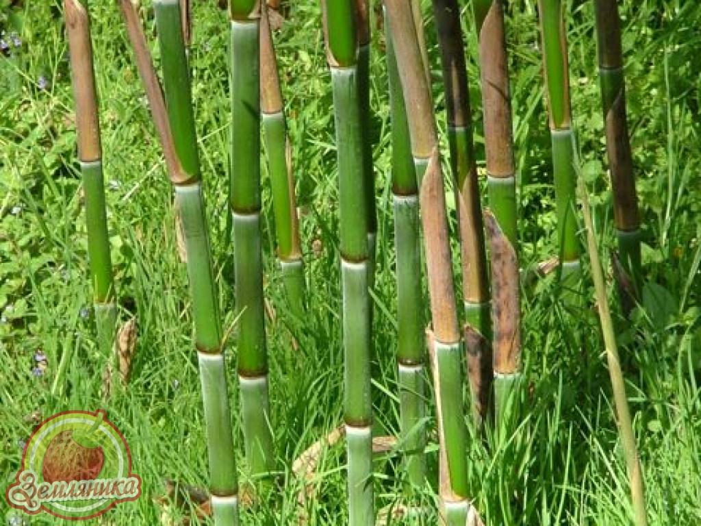 Купить саженцы бамбука в Украине от 90 грн