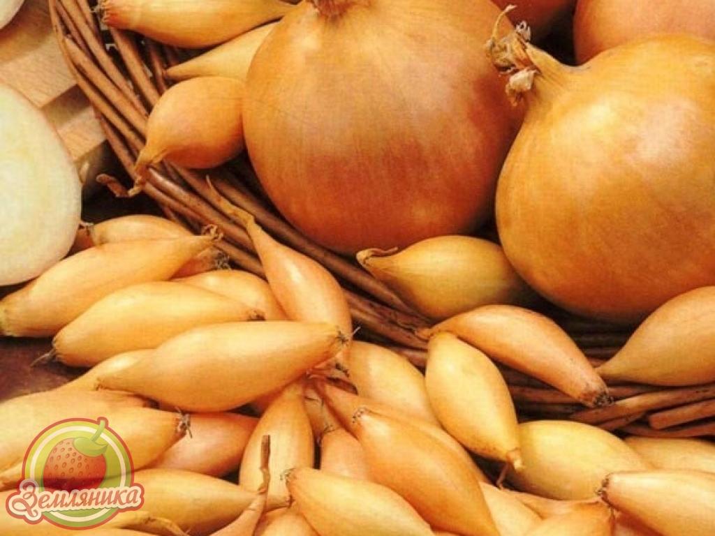 Лук севок Голиат купить по низкой цене