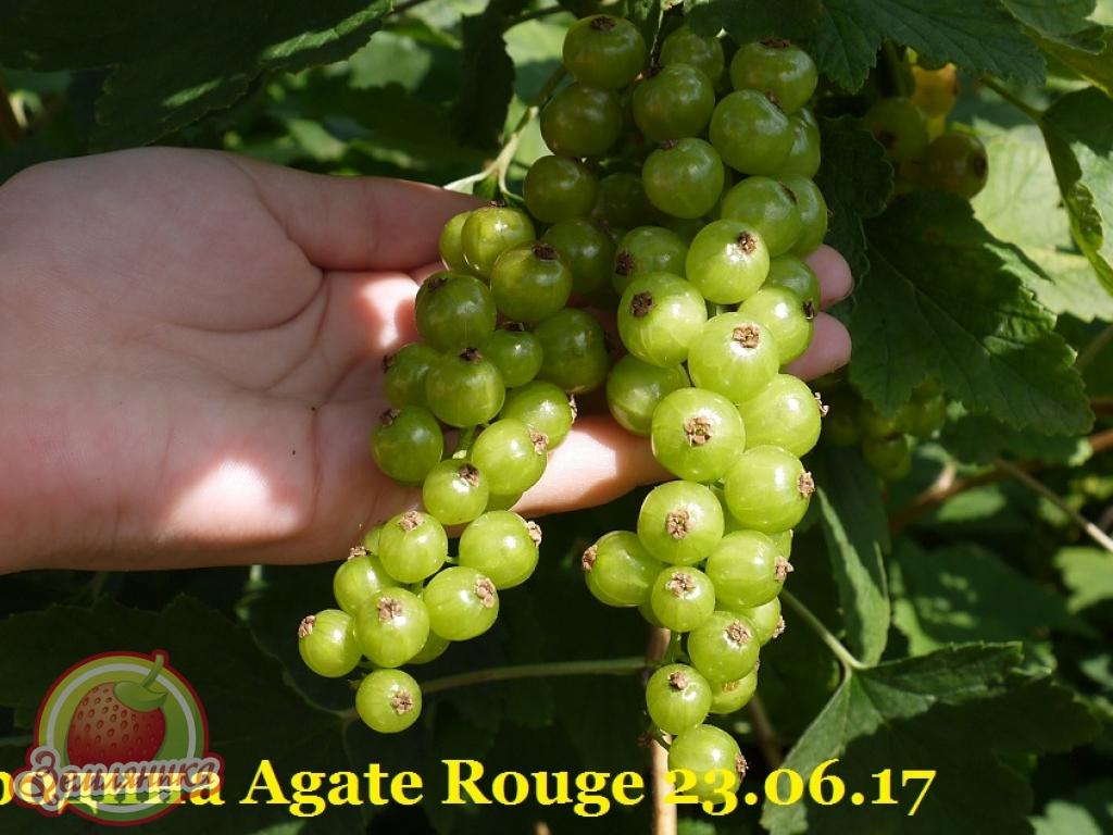 Смородина Красный Агат \ Rouge Agate