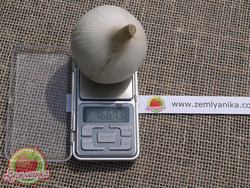 Рокамболь Кипрский однозубка по самой низкой цене от 10 грн.