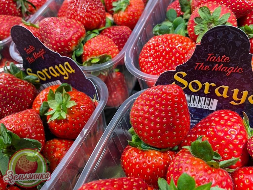 Саженцы клубники Сорая купить \ лучшая клубника из Голландии Soraya купить