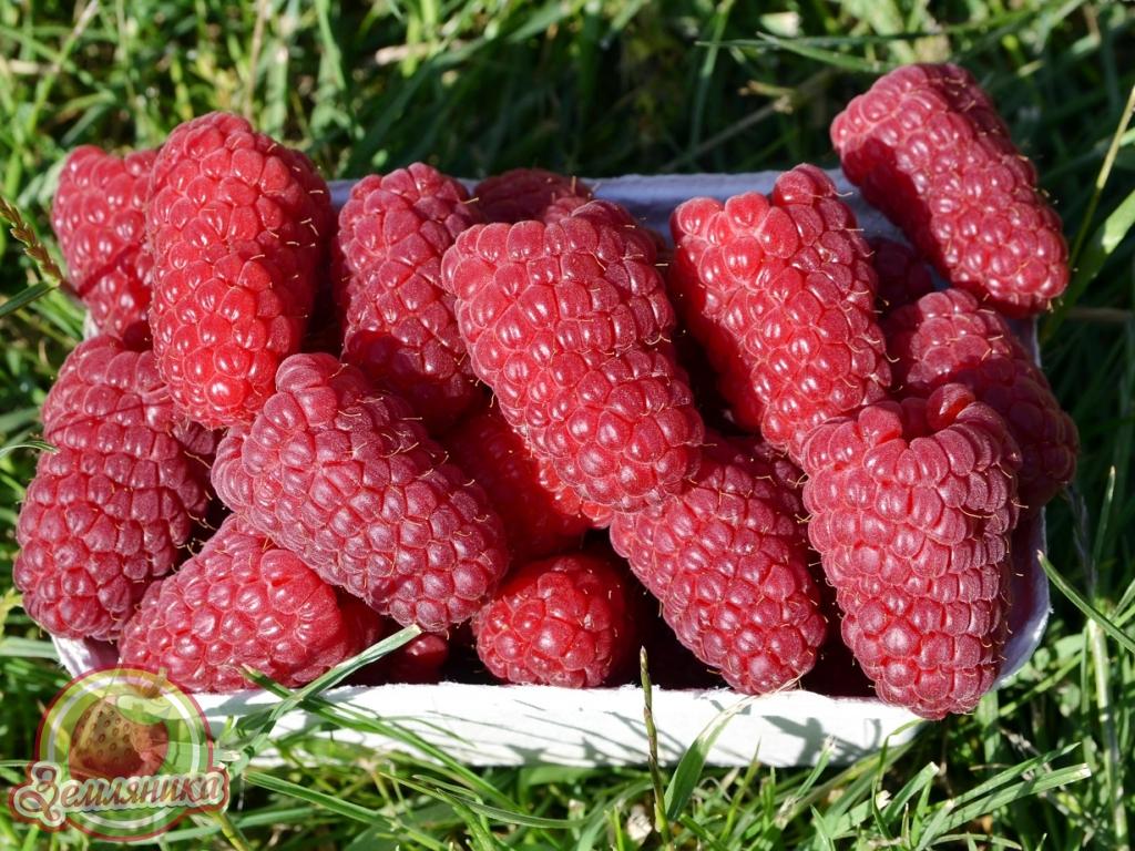 Малины Пшехиба купить лучший сорт малины очень раннего срока созревания. Урожайность до 20- тонн с гектара.