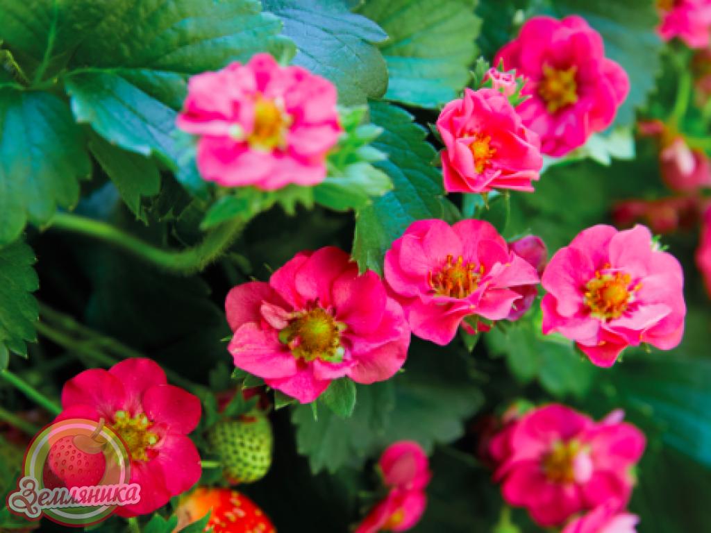 Купить саженцы клубники Summer Breeze F1 с махровыми цветками