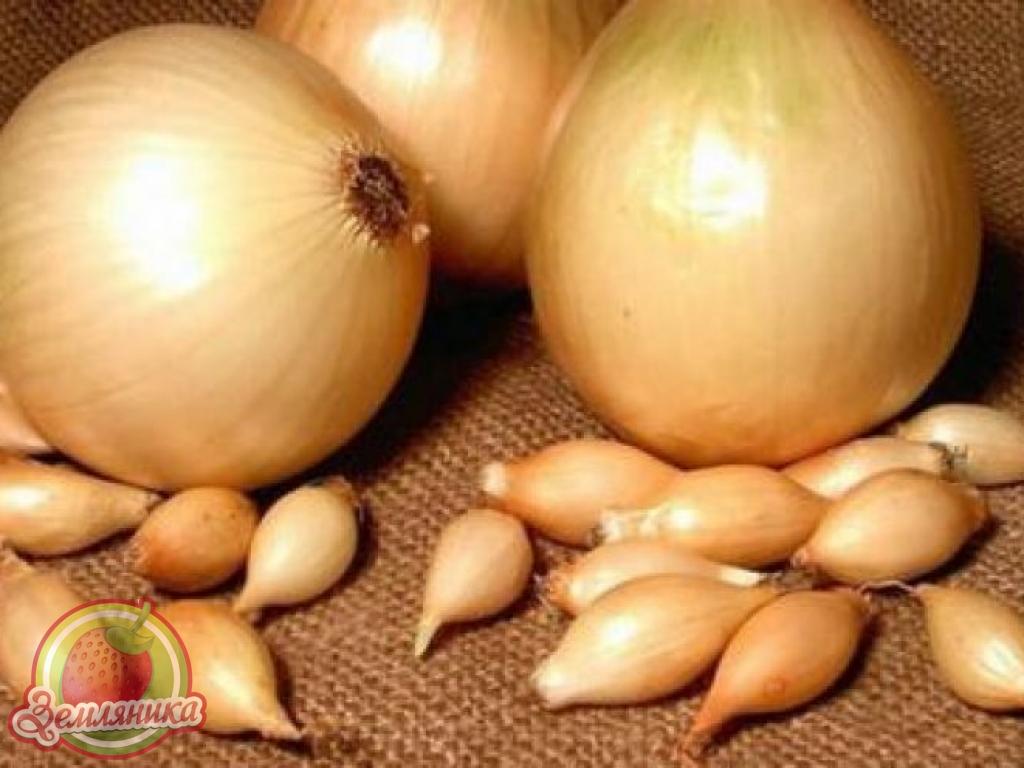 Лук севок Купидо купить 20 грн из Голландии