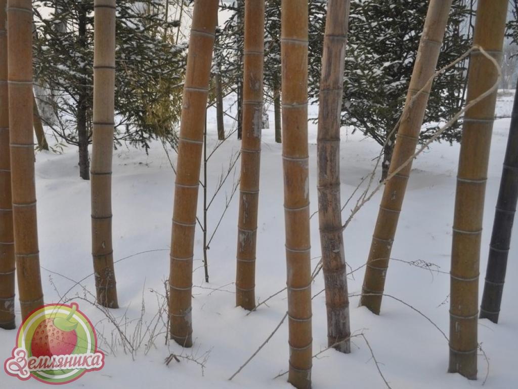 Саженцы бамбука Phyllostachys Moso купить в Украине по низкой цене.