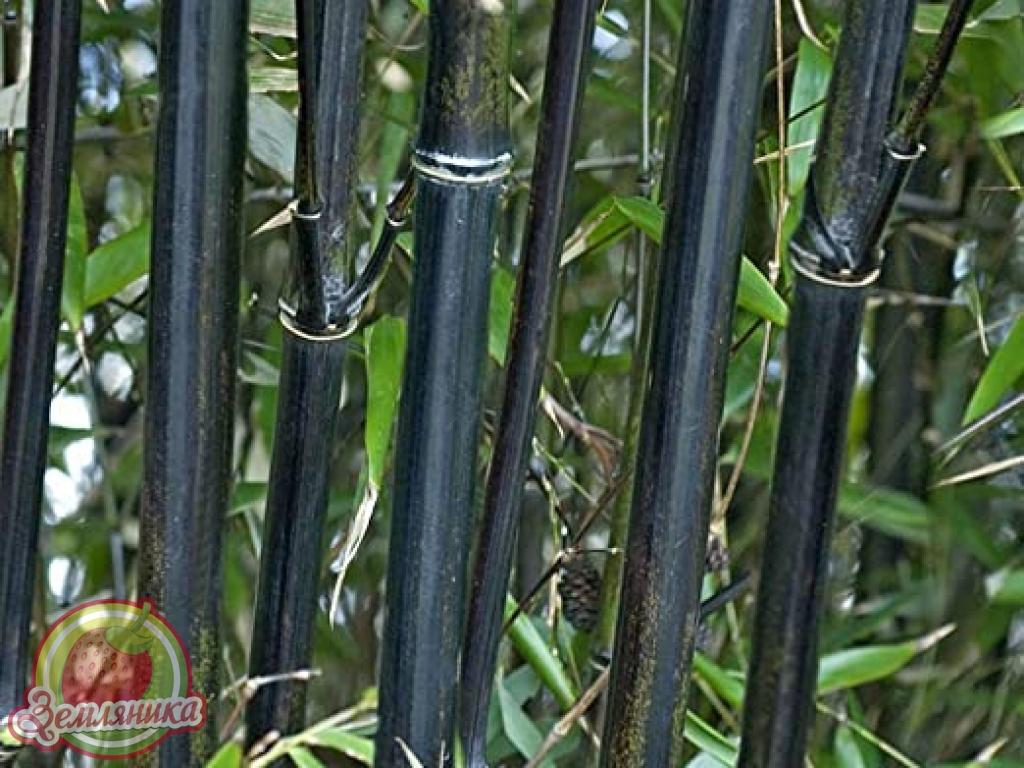 Купить саженцы черного бамбука в Украине по 100 грн