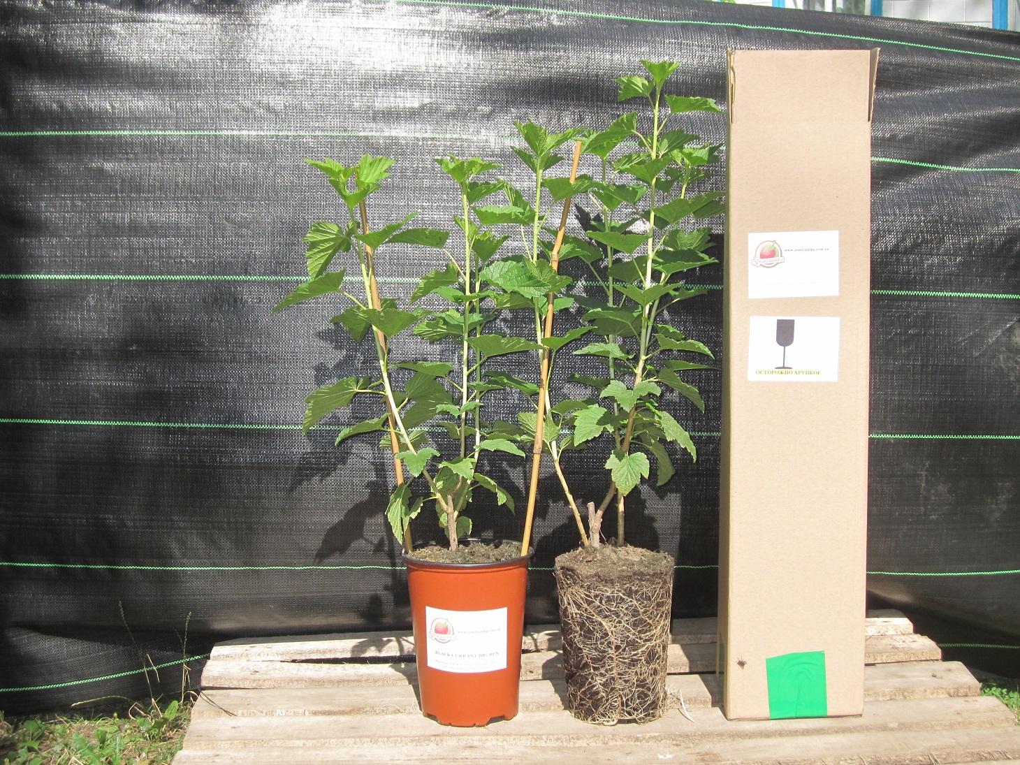 Выращивание саженцев с закрытой корневой системой 18